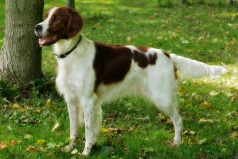 Aislingcudo CKC Reg'd Irish Red and White Setters