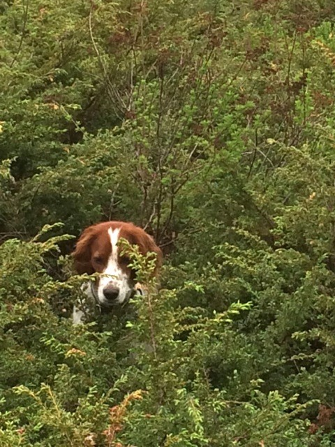 Aislingcudo Reg'd Irish Red and White Setters